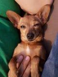 pies jest portret Fotografia Royalty Free
