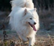 pies jest samoed Obrazy Royalty Free