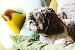 Pies jest wiernym zwierzęciem domowym Zdjęcie Stock