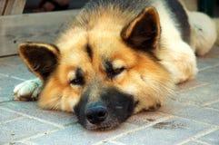 pies jest zmęczony Zdjęcie Royalty Free