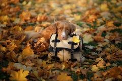 Pies kłama na torbie w jesień parku Smutny zwierzę domowe journeyer Nowa Scotia kaczki Tolling aporter, Toller fotografia royalty free