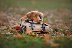 Pies kłama na torbie w jesień parku Smutny zwierzę domowe journeyer Nowa Scotia kaczki Tolling aporter, Toller obraz stock