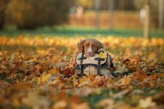 Pies kłama na torbie w jesień parku Smutny zwierzę domowe journeyer Nowa Scotia kaczki Tolling aporter, Toller zdjęcie royalty free