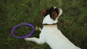 Pies kłama na trawie z zabawką zbiory