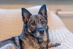Pies kłama w krześle i czekać na właściciela obrazy royalty free