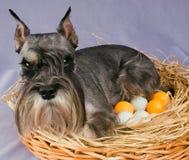 Pies kluje się jajko jajka Fotografia Stock