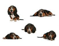 pies kolaż baseta Fotografia Stock