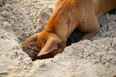Pies kopie dziury w piasku obrazy stock