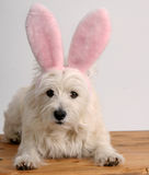 pies królików Fotografia Stock
