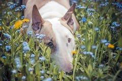 Pies, kwiaty, smutni Zdjęcia Royalty Free