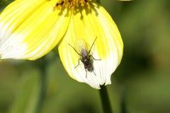 Pies largos de la mosca Imagen de archivo libre de regalías