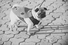 Pies lub pugdog w czerwonym żakieta spacerze na bruku obrazy royalty free