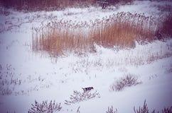 Pies Marznąca zimy Vacaresti Śnieżna Krajobrazowa delta Bucharest Zdjęcie Royalty Free