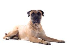 pies mastif byka Obrazy Royalty Free