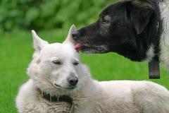 pies miłość Zdjęcie Stock