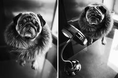 Pies, mops w futerkowym kołnierzu, mod Elegancki czarny i biały portr Zdjęcie Royalty Free
