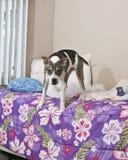 Pies na łóżku Obraz Royalty Free