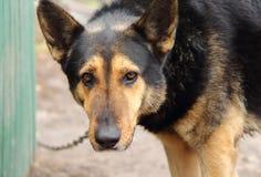 Pies na łańcuchu. Zdjęcie Royalty Free