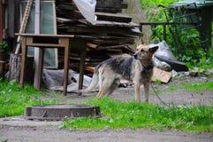 Pies na łańcuchu blisko landfil Obraz Royalty Free