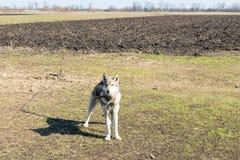 Pies na łańcuchu wiernie chroni dom od wrogów Cynologist Zdjęcie Royalty Free