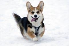 Pies na śniegu obraz royalty free