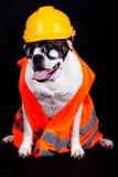 Pies na czarnej tło szefa kuchni budynku ochrony zbawczym hełmie Zdjęcia Royalty Free