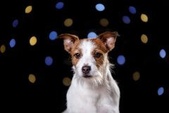 Pies na czarnym background terier jack Russell Fotografia Stock