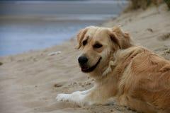 Pies na diunach Touquet, północ Francja Zdjęcia Stock