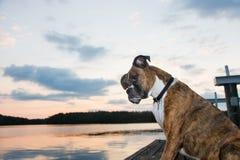 Pies na doku przy wschodem słońca Zdjęcie Royalty Free