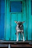 Pies na jaskrawym błękitnym tle Fotografia Royalty Free