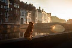 Pies na nabrzeżu przy wschód słońca Zwierzę domowe na naturze Nowa Scotia kaczki Tolling aporter, Toller zdjęcia royalty free