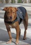 Pies na patrolu w domu Obrazy Stock