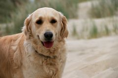 Pies na piasku plaża Touquet Obrazy Stock