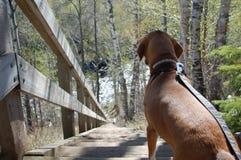 pies na pieszą wycieczkę Fotografia Royalty Free