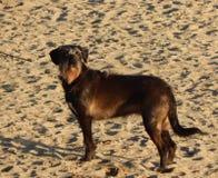 pies na plaży z brązu i białego włosy obraz stock