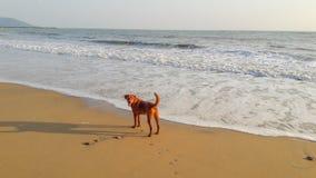 Pies na plaży zdjęcie stock