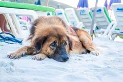 Pies na plaży Fotografia Stock