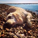 Pies na plaży Obraz Royalty Free