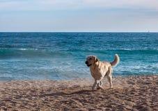 Pies na plaży Zdjęcie Royalty Free