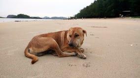 Pies na plaży Tajlandia Zdjęcie Stock