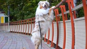 Pies na platformy stojakach na tylnych łapach zbiory