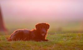 Pies na polu przy zmierzchu czasem Zdjęcie Stock