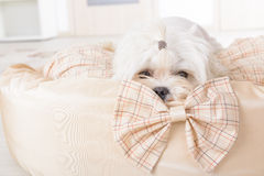 Pies na psim łóżku Fotografia Royalty Free