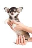 Pies na ręka weterynarzie odizolowywającym na białym tle Zdjęcie Royalty Free