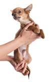 Pies na rękach odizolowywać na białym tle Zdjęcia Royalty Free