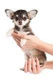 Pies na ręki chihuahua odizolowywającym na białym tle Fotografia Royalty Free