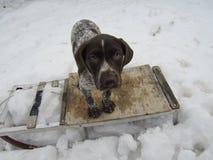 Pies na saniu obrazy royalty free