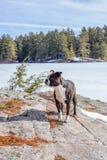 Pies na skale Zdjęcia Royalty Free
