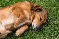 Pies na trawie Zdjęcia Stock