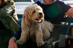 Pies na właściciela ` s podołku Zdjęcia Stock